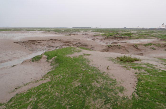 Habitat Eelgrass Walney