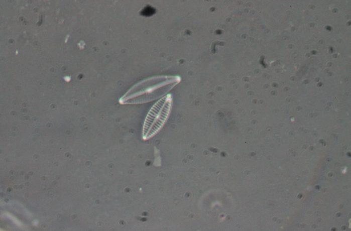 Close up of diatoms