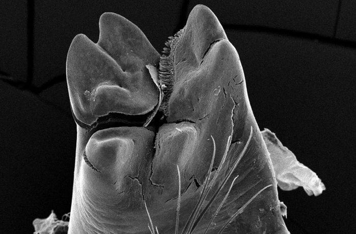 Observations on shrimp mandibles - Lead Image
