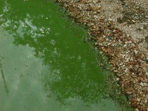 close up of algal bloom