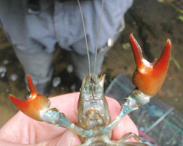 Signal crayfish during survey and eradication programme