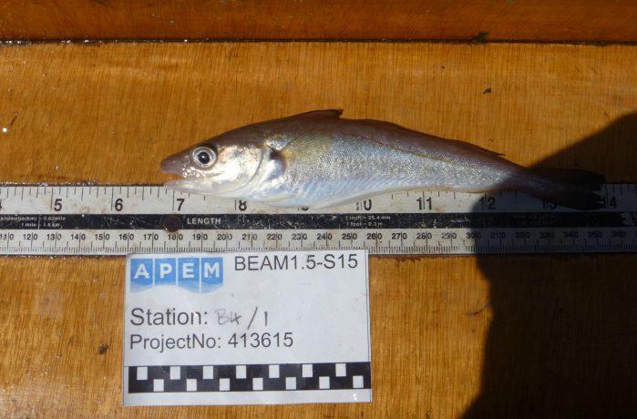 Fish on measuring board