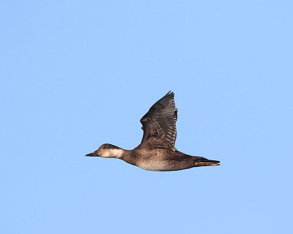 Common scoter in flight