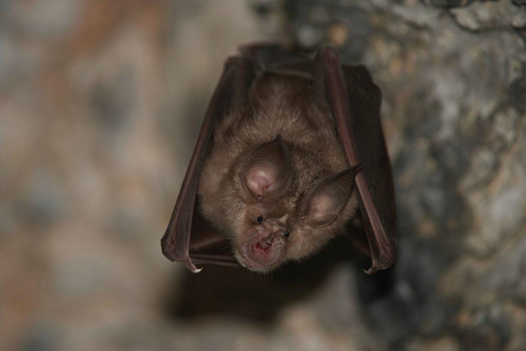 Greater horshoe bat