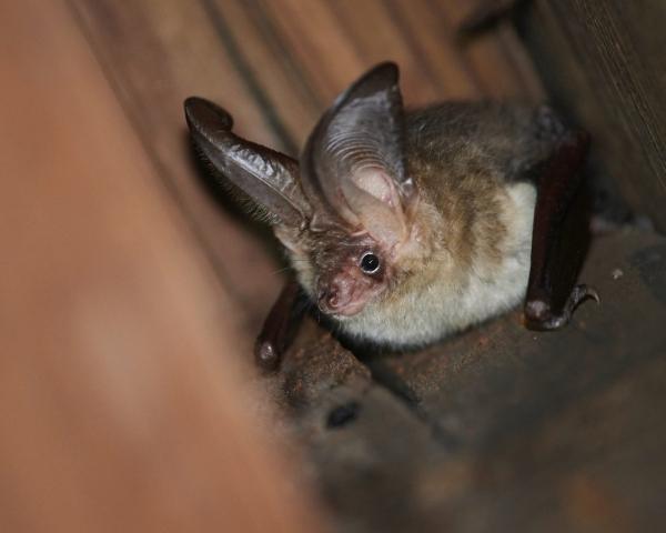 Plecotus auritus - Brown long-eared bat